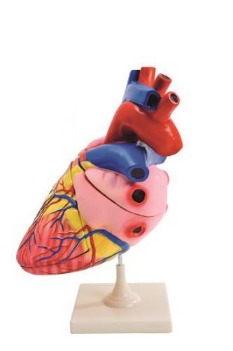 Obøí model srdce