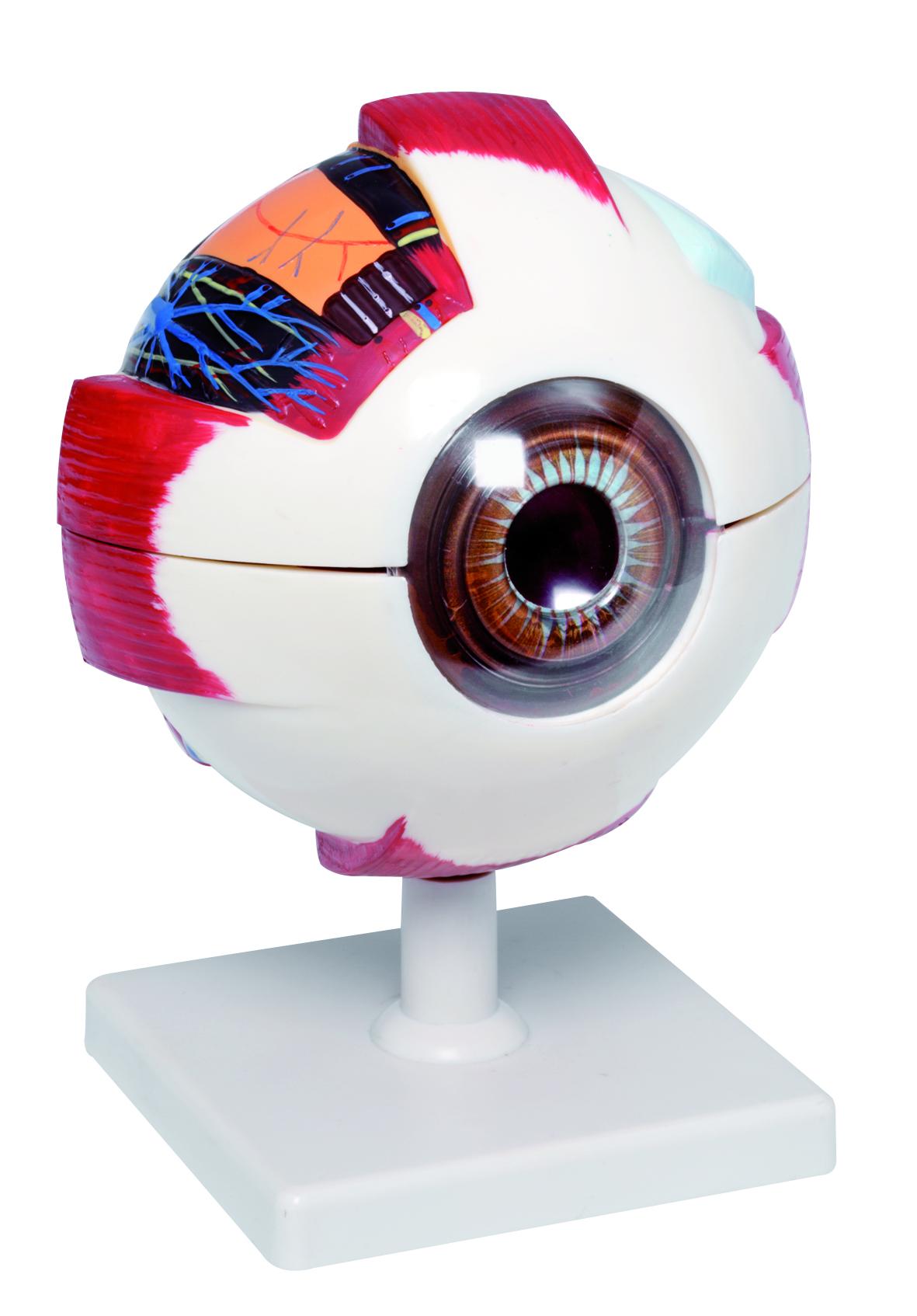 Model oka - zvìtšit obrázek