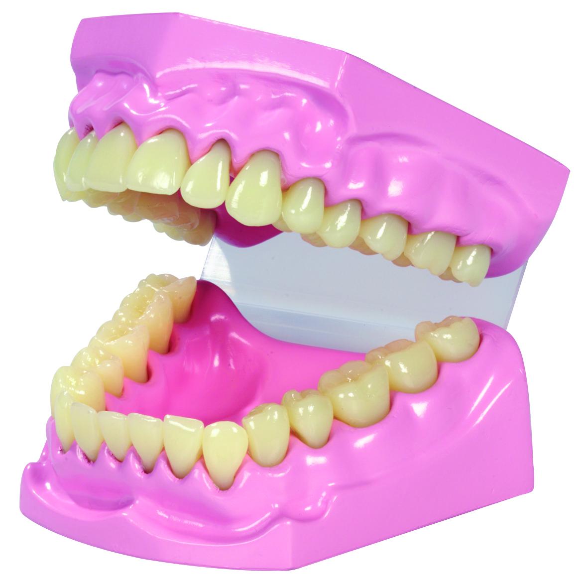 Model zubù - zvìtšit obrázek