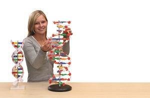 DNA model - velký - zvìtšit obrázek